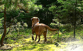Videos Vom Wittelsbacher Zwinger Foxred Labradorzucht In
